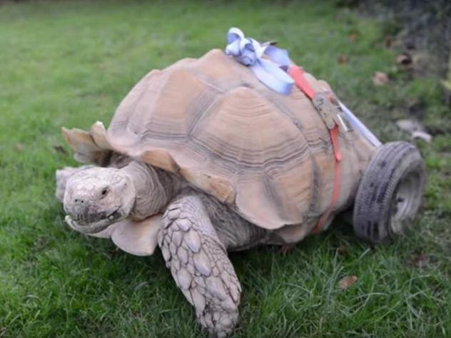 Похотливой черепахе сартритом вбританском парке развлечений приделали колеса