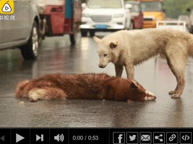 В Китае дворняга пыталась вернуть к жизни сбитого машиной пса