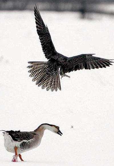Голод заставил ястреба напасть на взрослого гуся
