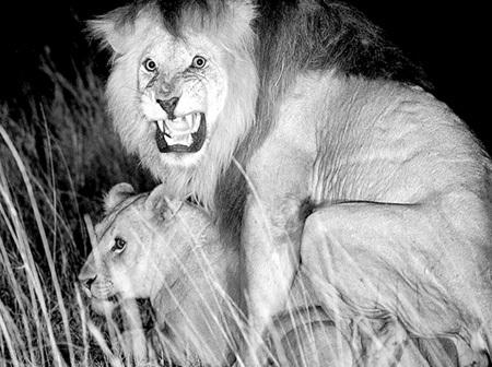 Львица требует круглосуточного секс-марафона - от такого любой озвереет