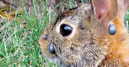 Для животных клещи опасны инфекционным заболеванием пироплазмозом. Свою жертву они «вычисляют» по выделяемому ею углекислому газу - чуют её на расстоянии до 1,5 м