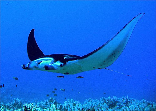 Размах крыльев ската достигает 7 м, а вес - 2,5 т, такой гигант напугает не только изнеженную голливудскую кинозвезду