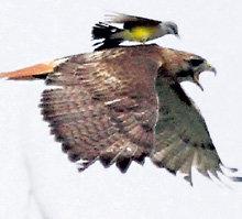 Защищая своё гнездо, птичка пчелоед отогнала ястреба, который в 50 раз больше нее