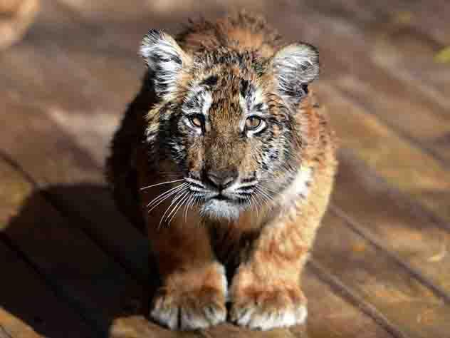 Встолице франции убит сбежавший изцирка тигр