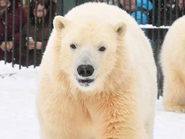 Взоопарке Ижевска родился белый медвежонок