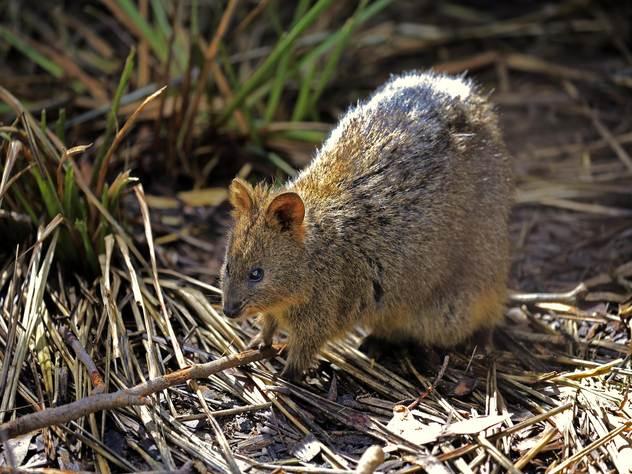 Редкий австралийский зверек квокка.
