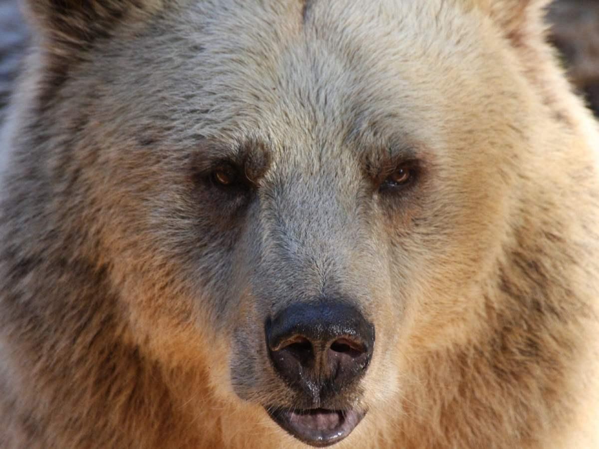 Затаившийся в выгребной яме медведь укусил женщину за попу